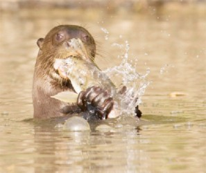 Giant River Otter (Photo by Graham Watkins)