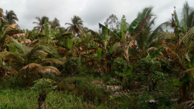 Red Palm Mite-infested coconut grove in the Pomeroon River