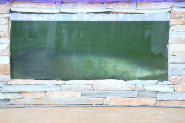The Arapaima in the pond at the opening of the Hotel