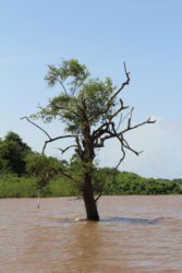 River tree: A tree growing in the Essequibo River near Aurora (Photo by Joanna Dhanraj)