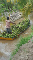 Transporting coconuts in the Pomeroon